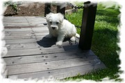 Private breeder offers Maltipoo,  Yorkiepoo,  Shipoo pups