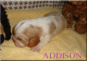AKC CAVALIER KING CHARLES SPANIELS BLENHEIM & TRI COLOR PUPPIES 4 SALE