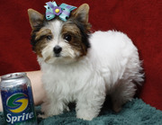 Wow!!! Cute and Healthy Female Teacup Yorkie for You (ASAP)