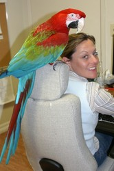 sweeet and adorable female scarlet macaw for adoption