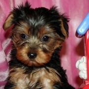 NICE LOOKING TEA CUP YORKIE PUPPIES FOR ADOPTION